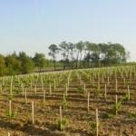 sauv-plantation-and-pines