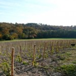 vines-new-planting