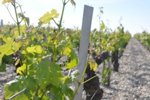 Cabernet Sauvignon in Pauillac, end May 2013
