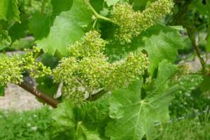 Flowering, May, 2003