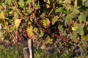 Bauduc vines 22  Sept - 035