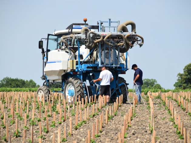 Watering newly planted Cabernet Sauvignon vines, Ch Léoville Barton in St-Julien, June 2015.