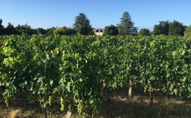 Bauduc vines 28 Julyv31