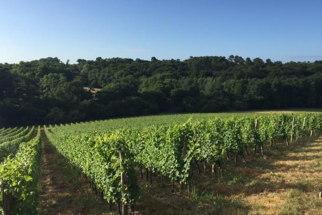 Bauduc vines 28 Julyv41