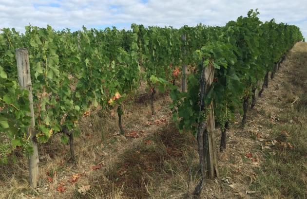 Bauduc vines 28 Julyv51
