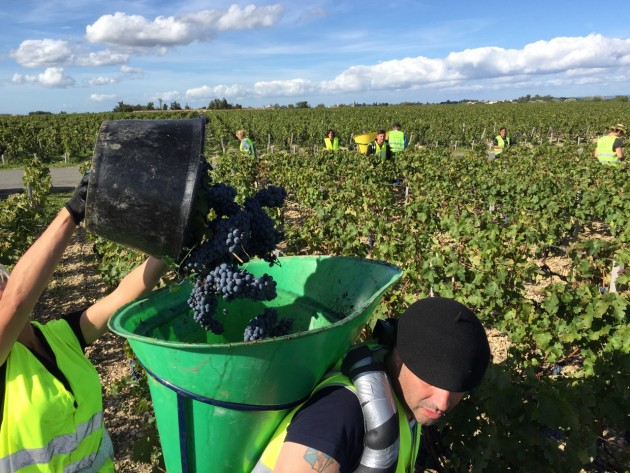 The Cabernet Sauvignon harvest at Ch Lafite Rothschild.