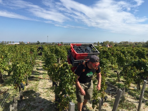 The Cabernet Sauvignon harvest at Ch Pontet Canet.