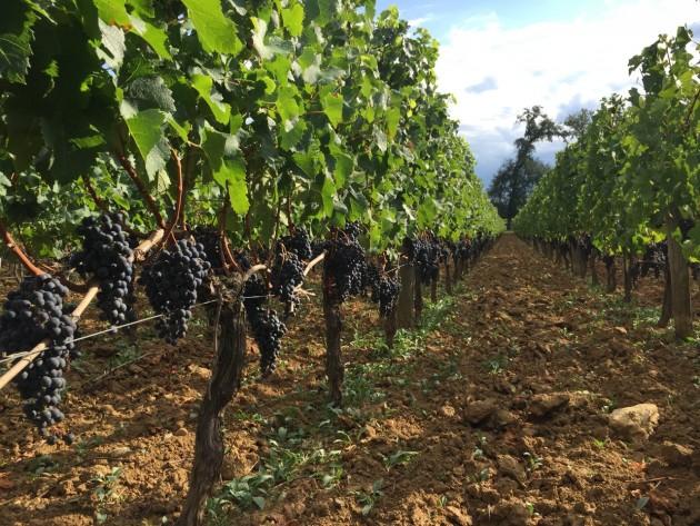 2015 Bordeaux harvest start article - 05