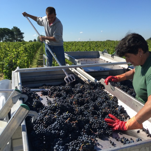 The Merlot harvest at Château L'Eglise-Clinet in Pomerol