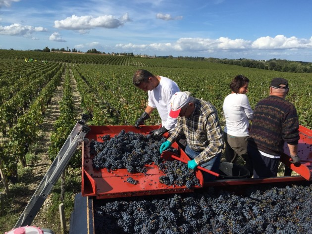 Château Lafite Rothschild in Pauillac - young Cabernet Sauvignon vines being picked