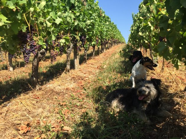 Margaux, Palmer and Pavie in the shade of the Merlot at Chateau Bauduc, 16 August 2016