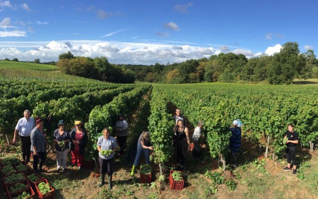 Bauduc harvest 2016 - hand picking Sémillon for the sparkling crémant