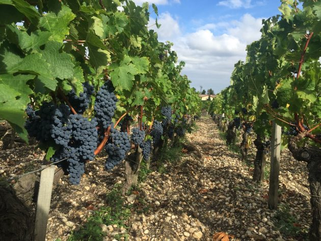 Cabernet Sauvignon at Ch Lafite-Rothschild in Pauillac, 18 September 2016